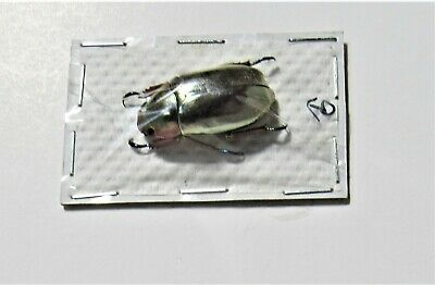 Very Rare Silver Jewel Beetle Plusiotis chrysargirea (Chrysina) FAST FROM USA