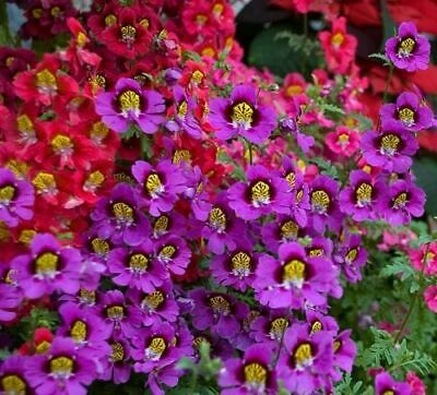 ANGEL WINGS MIX - Schizanthus wisetonensis (700 SEEDS) ANNUAL FLOWER!