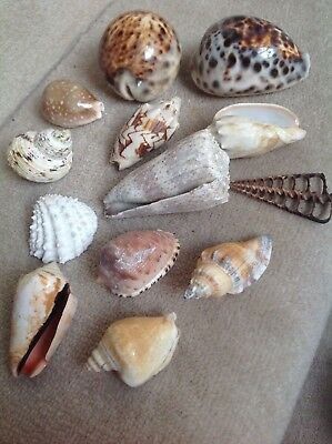 Collection of 13 Small/Medium Sized Sea Shells