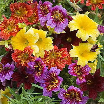 Painted Tongue Mix - Salpiglossis Sinuata (1000 Seeds)