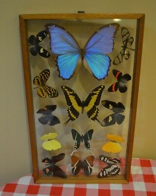 Butterfly Collection Lot Of 14 Glass  Framed Two Sided Blue Morpho