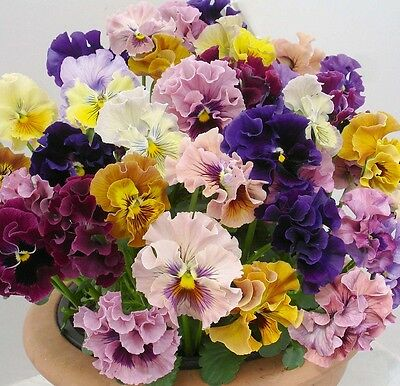 F0518 Viola Rococo Frilled x60 seeds Frilly Multicolored Mothers's Day Flowers