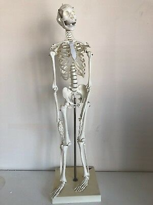 Standing Medical Learn Anatomical Skeleton Poster Aid Human Model- used  (65cm)