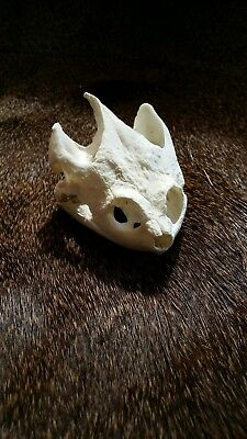 REAL Common Snapping Turtle Skull Taxidermy Animal Teeth Claws Nice Gifts Arts
