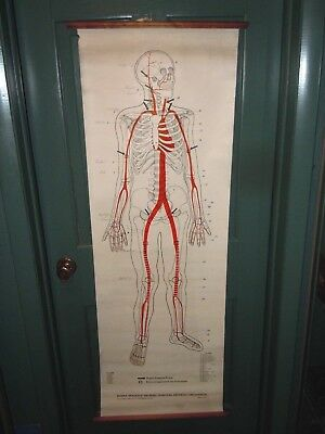 1942 Clay Adams ANTIQUE HUMAN SKELETON PRESSURE POINT SCIENCE CHART  6' & CASE.