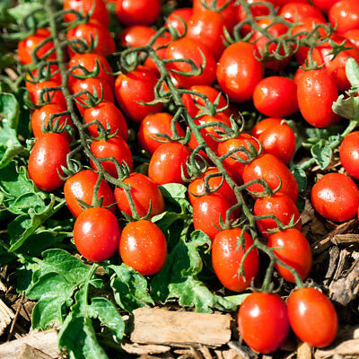 Tomato TUTTI FRUTTI F1 seeds Red Cherry tomatoes 10 seeds / 50 seeds / 100 seeds