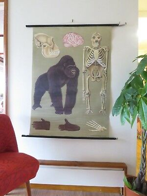 Vintage Pull Down School Chart Of A Gorilla Jung Koch Quentell Print Poster