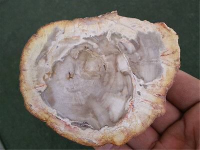Natural Petrified Wood Fossil Crystal Polished Slice Madagascar 205g MHP7147