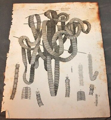 Antique Early 19Th Century Rag Paper Print Of A Tape Worm Vermes Intestina