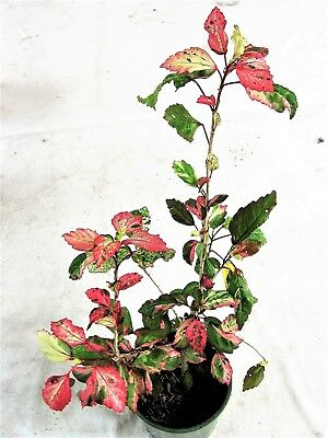 """Hibiscus """"Snow Queen"""" Variegated~Tropical plant grow in pot for cooler climates"""