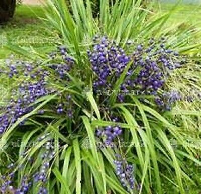 20 x BLUE FLAX LILY Dianella brevipedunculata native grass plants in 40mm pots