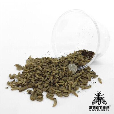 LARGE Feeding-Grade Black Soldier Fly Larvae