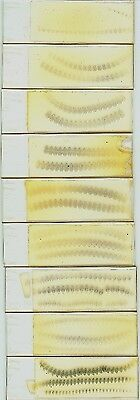 House Mouse Embryo Serially Sectioned Microscope Slides (Theiler Stage 21)