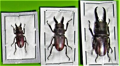 One Unusual Stag-Beetle Prosopocoilus mysticus Male FAST SHIP FROM USA