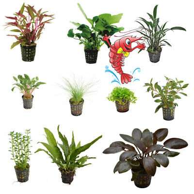 Live Aquarium Plants EU Grown Disease Free Shrimp & Snail Safe Potted Quality