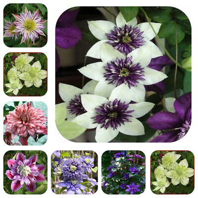 50Pcs Mixed Color Beautiful Clematis Flower Clematis Climbing Plant Seeds Wide