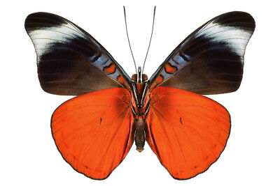 Brilliant Red Flasher Butterfly Panacea prola Folded FAST FROM USA