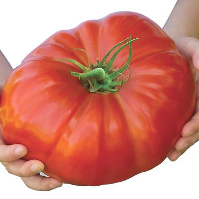 Belgium Monster Tomato Seeds Rare Fruit Giant Plant Heirloom 100 Seed Saat