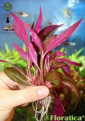 7 X Alternanthera Rosaefolia - ROOTED - Live Aquarium Aquatic Plants Fish Tank