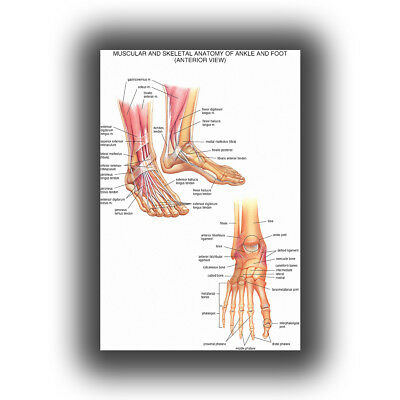 """Human Anatomy of the wrist and foot joints medical Poster Silk 24X36"""" 27x40"""""""