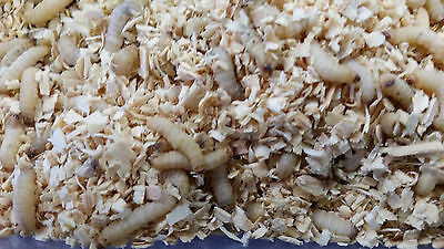 250 Count Waxworms, Wax worms,  Fishing, Reptile Feeders,  Free Shipping