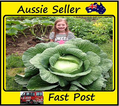 Rare Cabbage Seeds Organic seed Giant Vegetables High Germination 200 Seed Lots