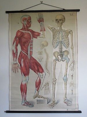 Vintage Pull Roll Down Medical School Body Chart Muscles & Skeleton Physiology