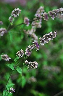 Just Seed - Herb - Catmint - Catnip - Nepeta cataria - 1500 Seeds
