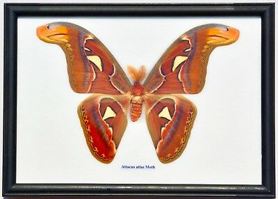 Real Attacus Atlas Moth Giant  (Male) : Taxidermy In Framed Display