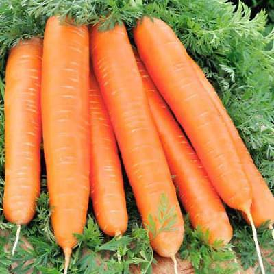Seeds Carrot Red Long Orange Giant Vegetable Organic Heirloom Russian Ukraine