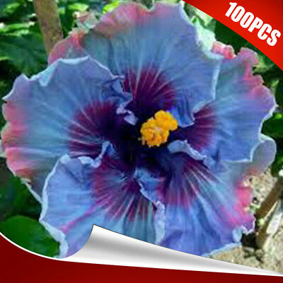 100x rare blue colors pretty giant hibiscus exotic coral flowers 100pcs local farmer giant hibiscus exotic coral flower seeds mix rare blue color mightylinksfo