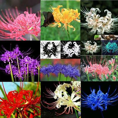 Bulbs Lycoris Radiata Spider lily Lycoris Bulb Seeds Random etok Hochwertige