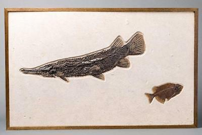 Spectacular Fossil Gar Fish From Wyoming - 28.5 Inches - Green River Formation