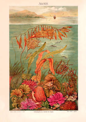 MARINE SEA ALGAE SEAWEEDS historical antique Lithograph print 1885