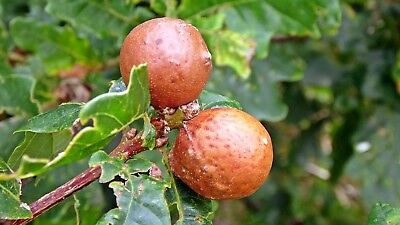 Oak Gall Marbles 950g (Unprocessed) 17-20% Tannic Acid - UK - Hand Picked