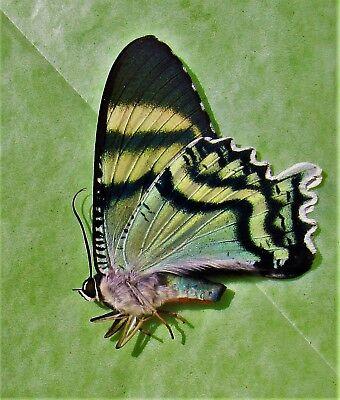 Lot of 10 Magnificent Iridescent Day Flying Moth Alcides orontes Folded FAST USA