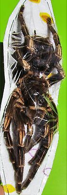 Large Orange Banded Tarantula Female Acanthoscurria juruenicola FAST FROM USA