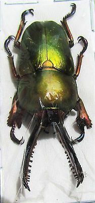 Lot of 10 Unique Mount Arfak Stag-Beetle Lamprima adolphinae Male 25-35mm FAST