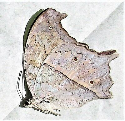 Mother of Pearl Butterfly Salamis parhassus Male Folded/Papered FAST FROM USA