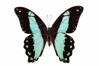 Lot of 2 Broad Green-banded Butterfly Papilio bromius bromius Male Folded FAST