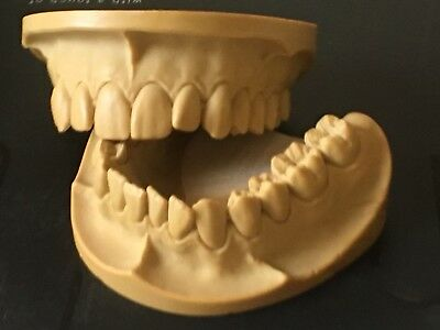 Dental Anatomy Stady  Presentation Models ( Upper & Lower)/Bredent