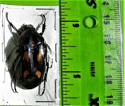 Lot of 2 Indonesian Four Spot Flower Beetle Clerota budda FAST SHIP FROM USA