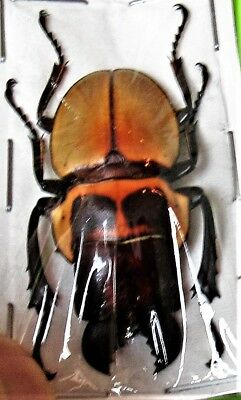 Beautiful Stag Beetle Odontolabis brookeana Amphiodonte Male FAST FROM USA