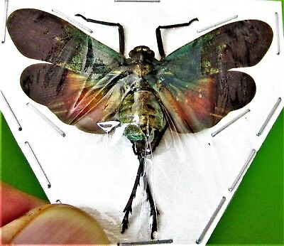 Lot of 2 Lanternfly Cicada Penthicodes farinosa aeruginea Spread FAST FROM USA