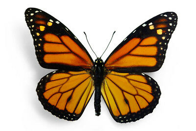 Magnificent Monarch Butterfly Danaus plexippus Folded FAST FROM USA