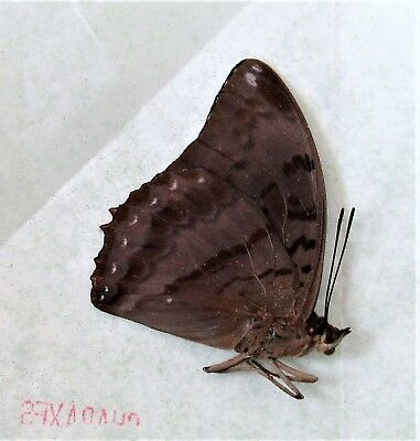 Flame-bordered Emperor Butterfly Charaxes protoclea protoclea Male Folded FAST
