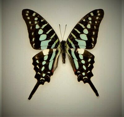Lot of 2 Common Swordtail Butterfly Graphium policenes Folded/Papered FAST USA