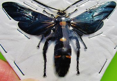 Giant Iridescent Scoliid Wasp Megascolia procer Male Spread FAST SHIP FROM USA