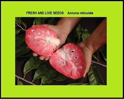 Red Custard Apple ~Fresh seeds  ~ Annona reticulata   ~ Rare Small Tree 400