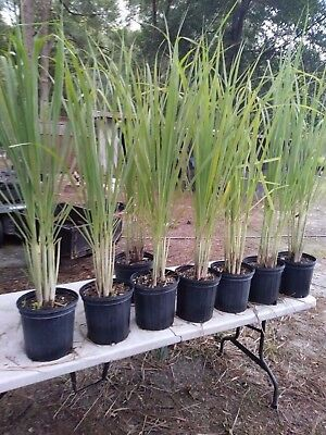 """Lemongrass 5 Live Plants Each 8-12"""" Tall fully rooted"""